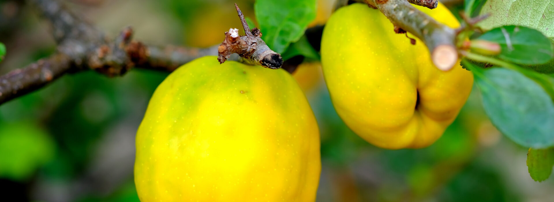 Quince treats for a blissful Autumn